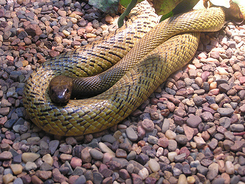 photo Fierce snake / <span class='cursive'>Parademansia microlepidota</span>