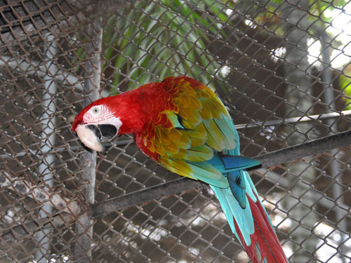 photo Green-winged macaw / <span class='cursive'>Ara chloroptera</span>