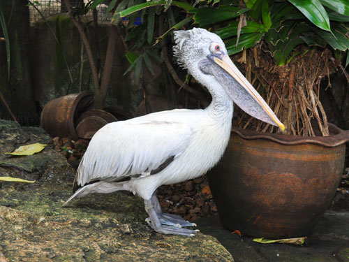 Spotted-billed pelican