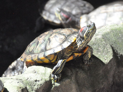 photo Trachemys scripta elegans / Red-eared slider