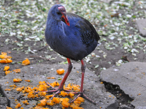 photo Purple swamphen / <span class='cursive'>Porphyrio porphyrio pulverulentus</span>