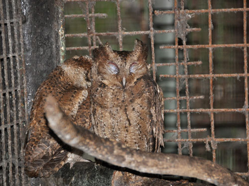 Luzon scops owl