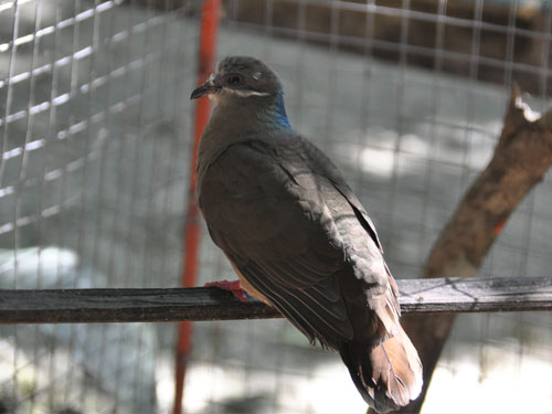 Short-billed brown-dove