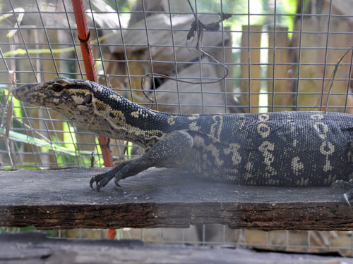 photo Samar water monitor / <span class='cursive'>Varanus samarensis</span>