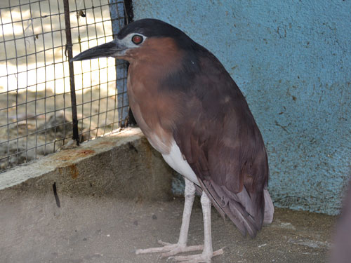 photo Rufous night heron / <span class='cursive'>Nycticorax caledonicus major</span>