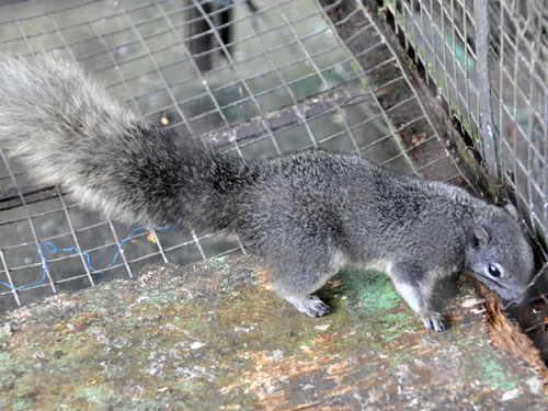 photo Philippine tree squirrel / <span class='cursive'>Sundasciurus philippinensis</span>