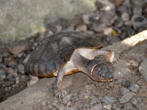 photo Philippine pond turtle / <span class='cursive'>Siebenrockiella leytensis</span>