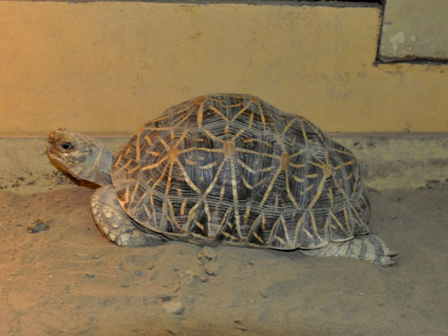 photo Geochelone elegans / Star tortoise