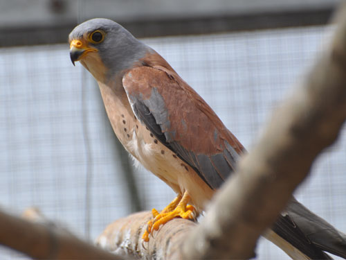photo Lesser kestrel / <span class='cursive'>Falco naumanni</span>
