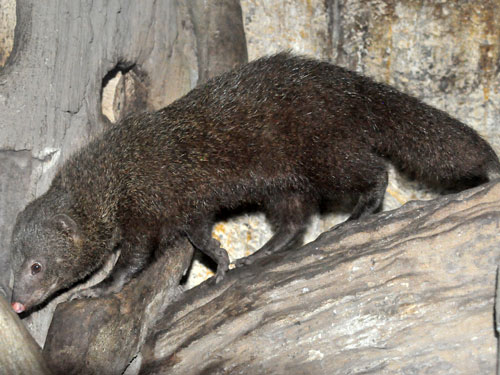 Palawan short-tailed mongoose