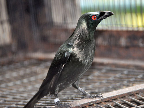 Philippine glossy starling