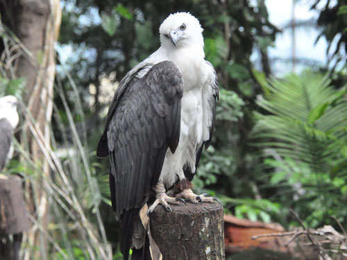 photo White-bellied sea eagle / <span class='cursive'>Haliaeetus leucogaster</span>