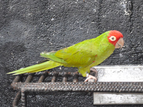 Red-masked conure