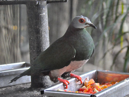 Pink-bellied imperial pigeon