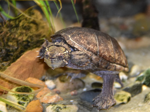 photo Common musk turtle / <span class='cursive'>Sternotherus odoratus</span>