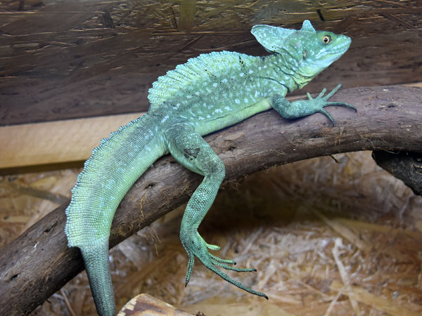photo Green crested basilisk / <span class='cursive'>Basiliscus plumifrons</span>
