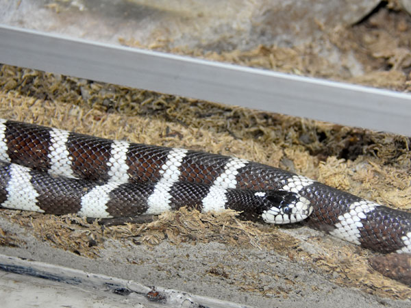 photo California kingsnake / <span class='cursive'>Lampropeltis californiae</span>