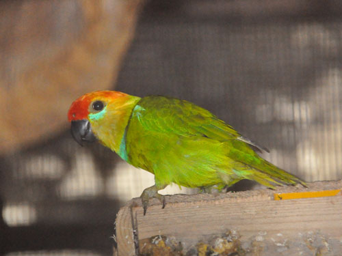 Large fig-parrot