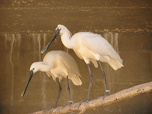 photo Platalea leucorodia / White spoonbill