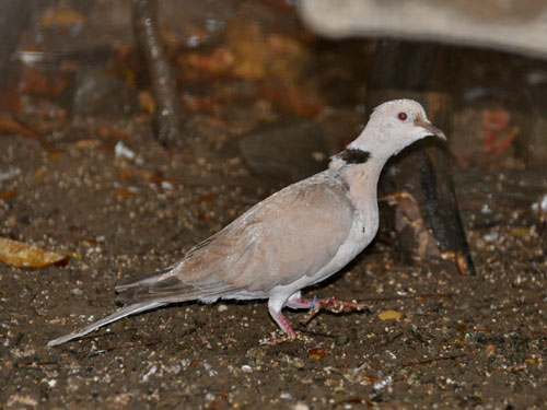 photo Island collared-dove / <span class='cursive'>Streptopelia bitorquata dusumieri</span>