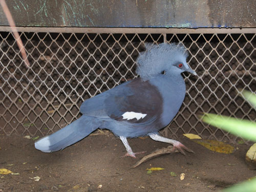 photo Blue crowned pigeon / <span class='cursive'>Goura cristata</span>
