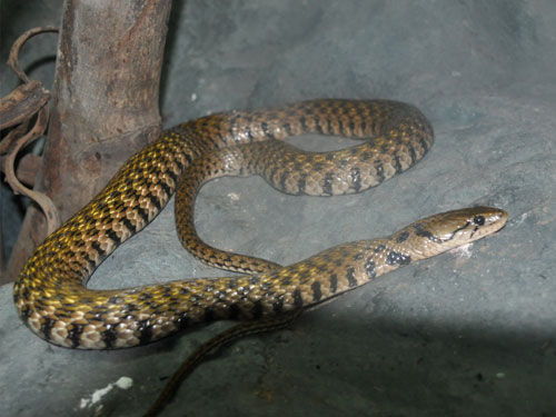 Common keelback snake