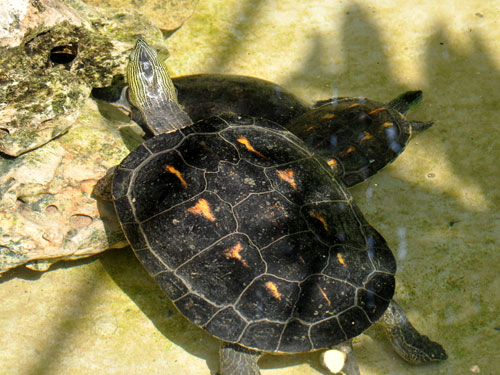 photo Chinese stripe-necked turtle / <span class='cursive'>Mauremys sinensis</span>