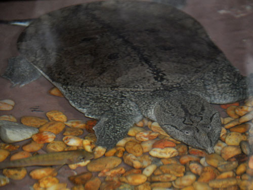 Malayan softshelled turtle