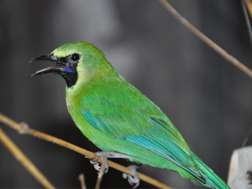 photo Blue-winged leafbird / <span class='cursive'>Chloropsis moluccensis</span>