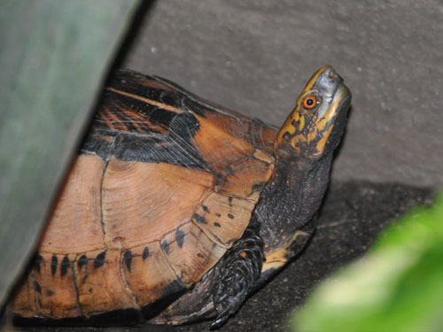 Indochinese box turtle