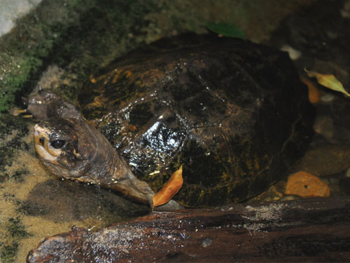photo Malayan flat-shelled turtle / <span class='cursive'>Notochelys platynota</span>