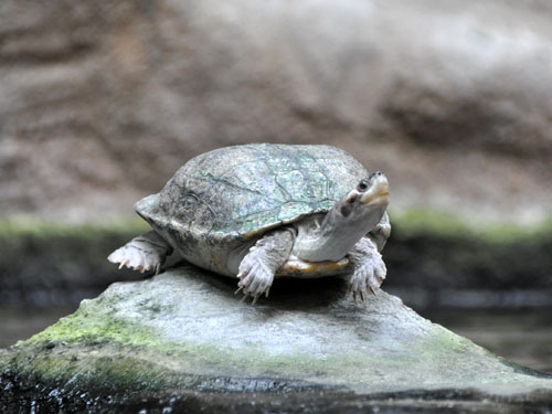 photo Brown roofed turtle / <span class='cursive'>Batagur smithii</span>