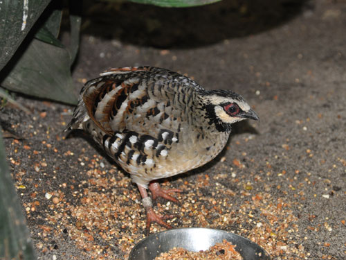 Brown-breasted hill partridge