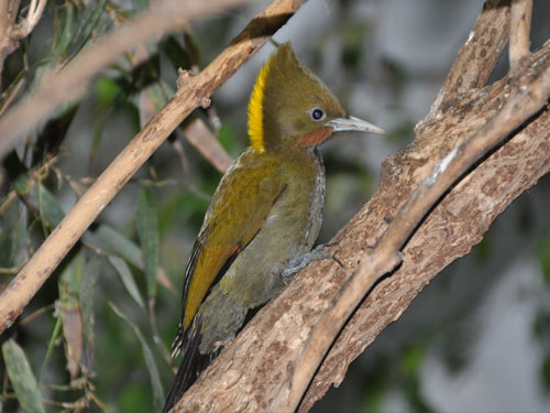 Greater yellow-naped woodpecker