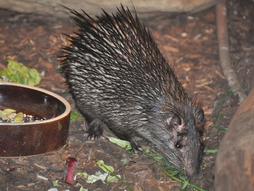 photo African brush-tailed porcupine / <span class='cursive'>Atherurus africanus</span>