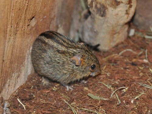Mesic four-striped grass mouse