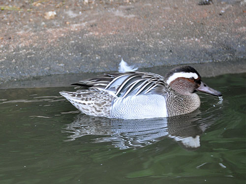 photo Garganey / <span class='cursive'>Spatula querquedula</span>