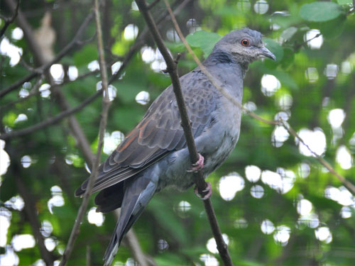 Pink-breasted dove