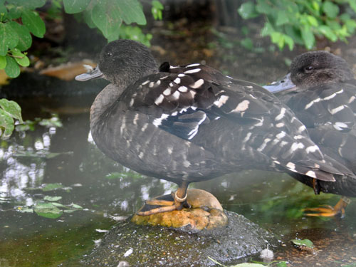South African black duck