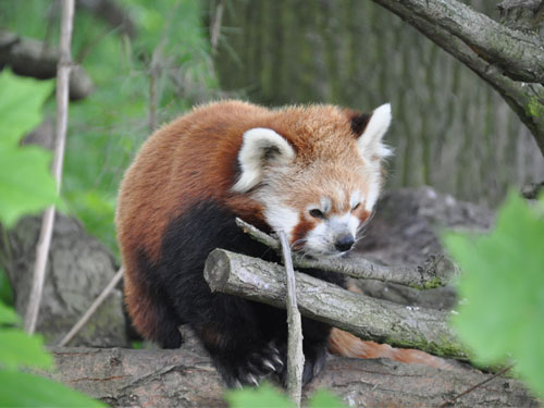 photo Red panda / <span class='cursive'>Ailurus fulgens fulgens</span>
