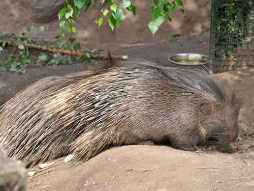 Shaggy crested porcupine