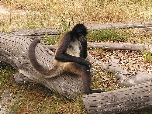 photo Spider monkey / <span class='cursive'>Ateles geoffroyi vellerosus</span>