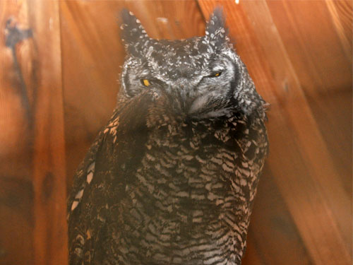 photo Spotted eagle owl / <span class='cursive'>Bubo africanus africanus</span>