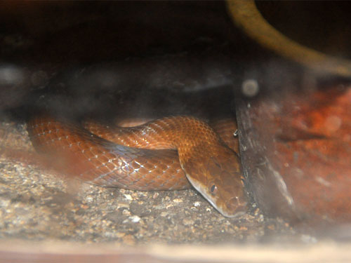 photo Brown house snake / <span class='cursive'>Boaedo fuliginosus</span>