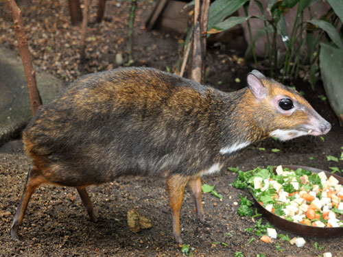 Philippine mouse deer