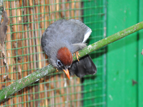 Spectacled laughing thrush