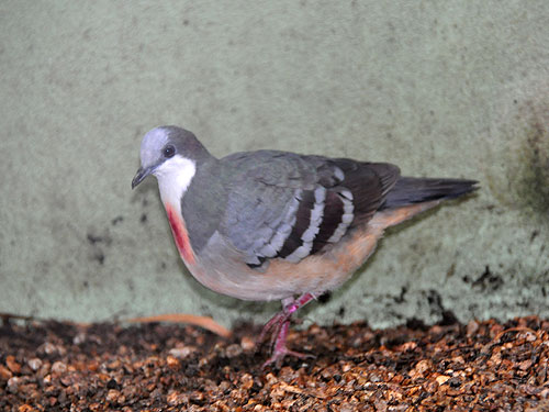 photo Bleeding heart pigeon / <span class='cursive'>Gallicolumba luzonica</span>
