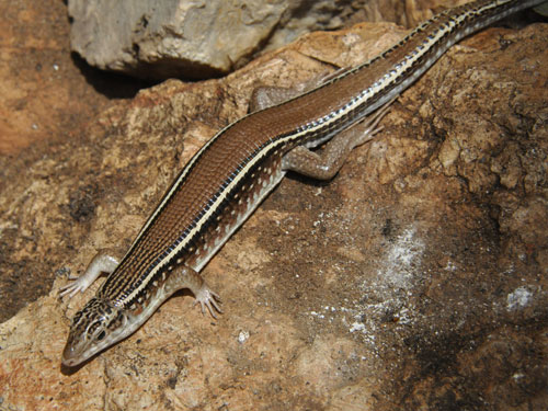 Karsten's girdled lizard