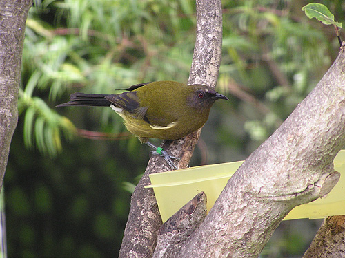 photo Bellbird / <span class='cursive'>Anthornis melanura</span>