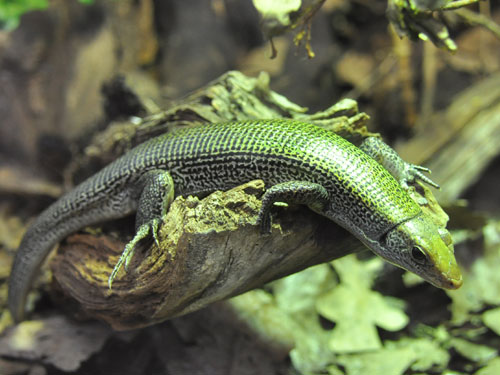 Green girdled lizard